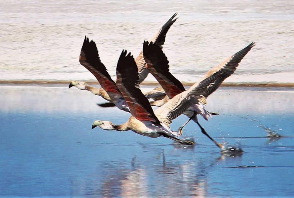 Flamingos in Laguna Colorada in Uyuni, Bolivia